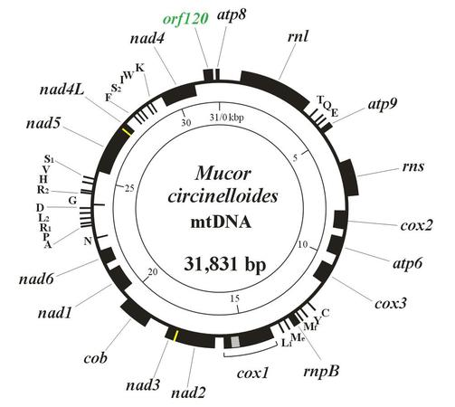 Rhizopus stolonifer genetic map of the mtdna ccuart Gallery